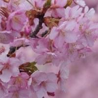 濃く深い桜色 〈 淀 河津桜 〉
