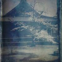 寛永寺の桜