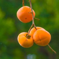 柿トリビア
