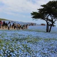 ひたち海浜公園 青の世界
