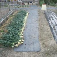 玉ネギ・収穫