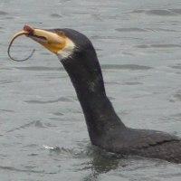 海鵜 大物を獲ったぞぉ~