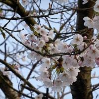 隣の桜も咲き出した