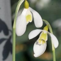 スノードロップの花・・そのⅡ