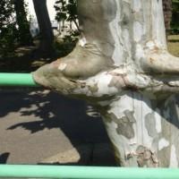 ガードレールと融合した木の幹