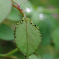 チュウレンジバチの幼虫