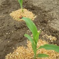 4/21(金)トウモロコシ、定植しました~ このキャベツ苗どうかな?