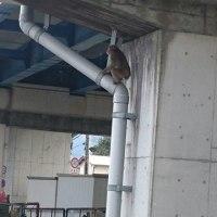 【猿に注意】4/24 10:55塚本陸橋に猿出没!