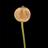 Rosa banksiae var. normalis