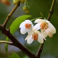 依り代の木に花