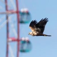 一期一会・・・鳥撮りの記  175 チュウヒ他