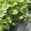 6月24日 おもな野菜の生育状況