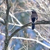雪山の野鳥 Ⅱ