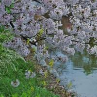 万代池の桜