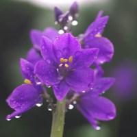 ミズアオイの花