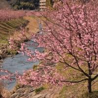 浜松市 花川沿い の 河津桜並木