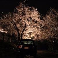 松が峰の桜