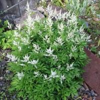 「白色アスチルベ」も開花。