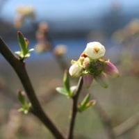 オニールの開花