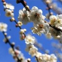 ウメおそいほうもだいぶ咲いてきと~る…20年前にもらった永倉新八の「新撰組顛末記」やっと読んど~る