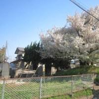通勤途中の風景 勝田の梵天塚の桜