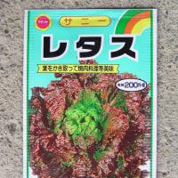 レタスのタネ蒔き