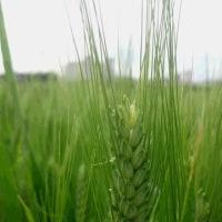 デュラム小麦の開花