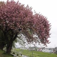 利根運河の八重桜開花情報2017・04・21