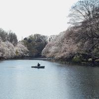 井の頭池 桜