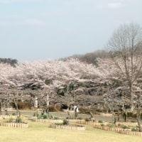 桜、満開\(^o^)/