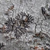 江尾公園の自然:モジゴケの仲間でしょうが、別の名前がありそうです。