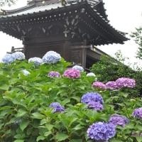白山神社 紫陽花祭り(文京区)こさのぼ散歩