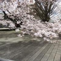 東工大の桜も満開