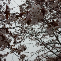 樽前山麓の山桜