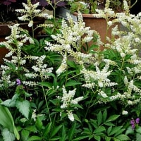 泡盛升麻(あわもりしょうま)という花