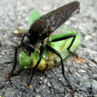 昆虫最強と言われる中で最大の、メスアカムシヒキアブのオスとメス