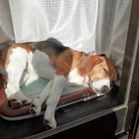 日溜まりで眠るvocho!