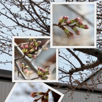 因島医師会病院の桜は・・・ 2017.03.29
