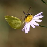 ノコンギクと昆虫たち
