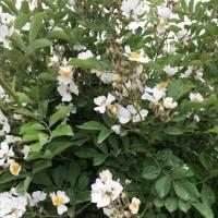 モッコウバラが咲きました!