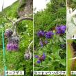 八方尾根7月の花Ⅰ