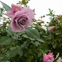 横濱の薔薇