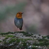 今日の鳥コレクション・・・コマドリ