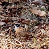 近所の野鳥 3月25日