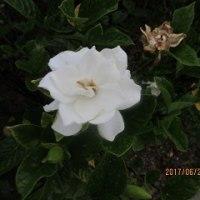 ♪・・・くちなしの花・・・
