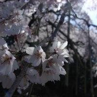 満開!波佐見の枝垂れ桜