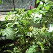 続 盆栽トマト