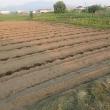 秘伝豆、定植