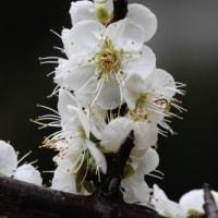ひとあし早い 紅白の梅の花