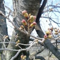 3月29日(水) 職場の桜